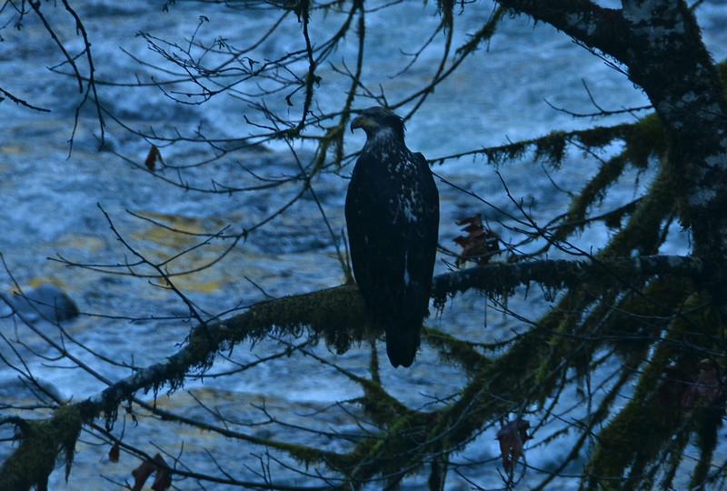Juvenile eagle - Quinault R.
