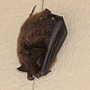 Bat above Dacha garage