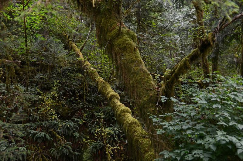 Rainforest at Quinault