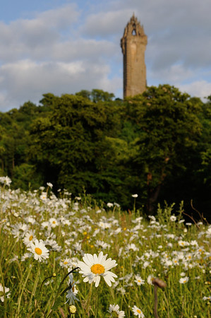 Daisies, buttercups and Wallace Monument