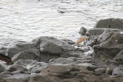 Cool little heron guy