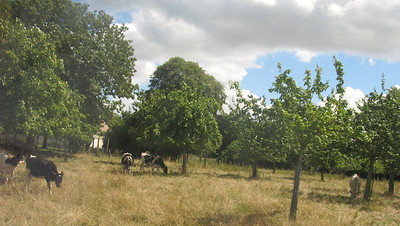 Normandy - apples and cows - Mimi Nenno