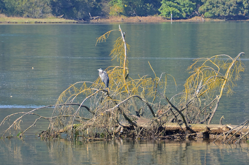 Heron at Nisqually