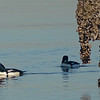 Buffleheads at Dickman Mill Park, Commencement Bay