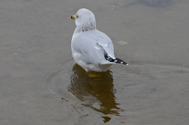Nisqually - Gull