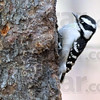 WOODPECKER COUNT