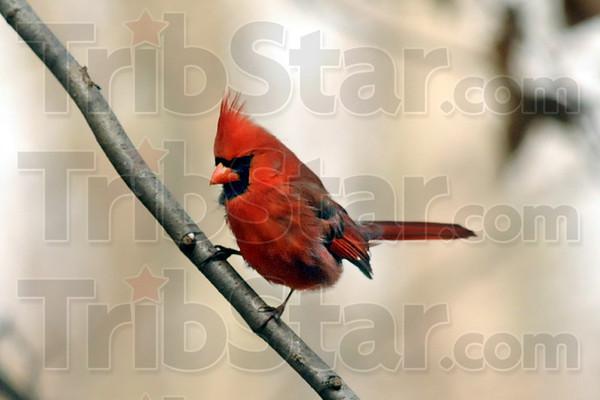 Bird count Cardinal