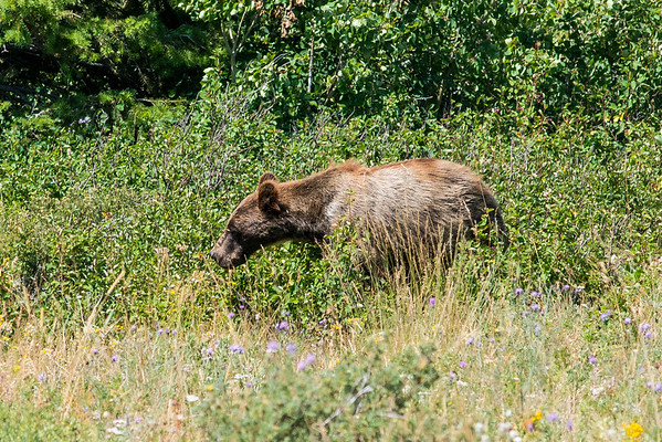 We spied a couple grizzly bears. You can tell it's a grizzly by the hump on its back / neck area.  They love those berries