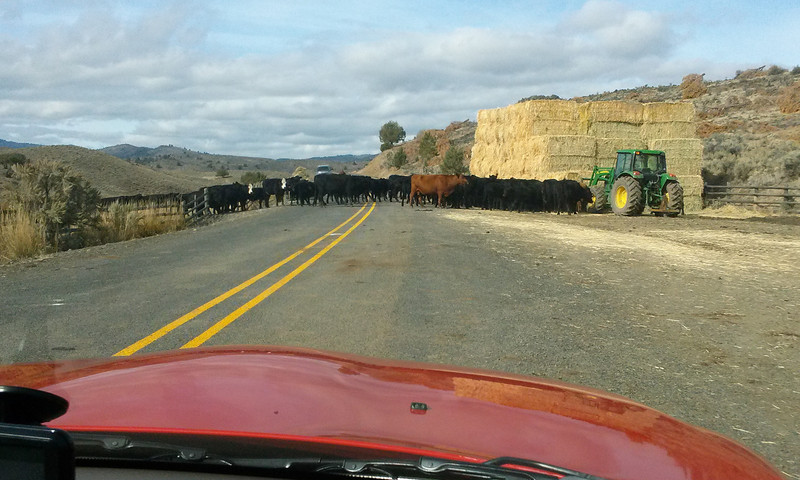 The road ahead was blocked with cows and Cowboys..