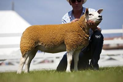 p Ewe Lamb