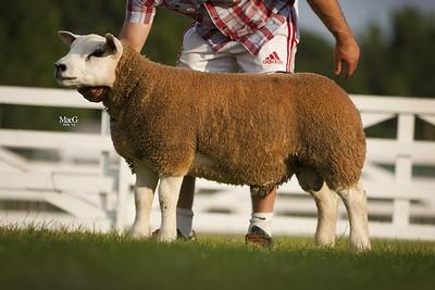 p Tup Lamb