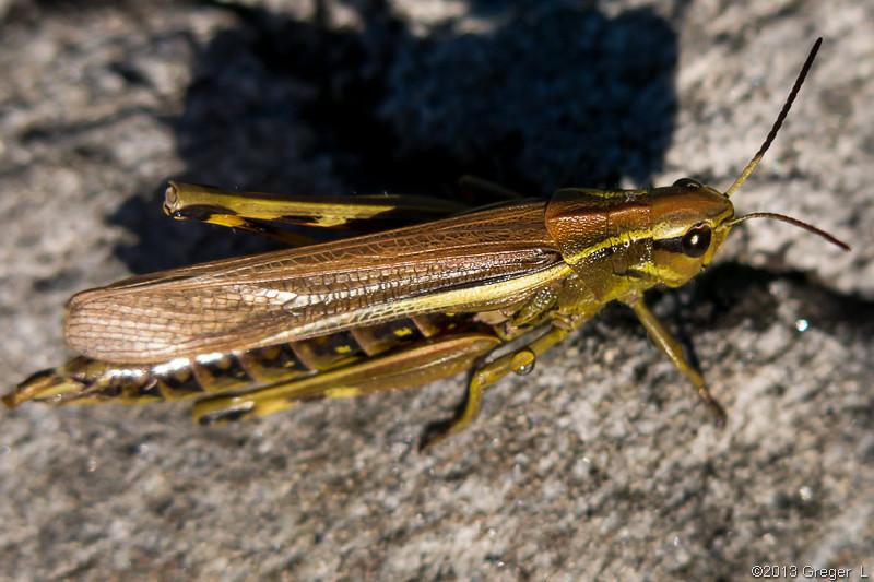 En Kärrgräshoppa solar sig i den sista sommarvärmen
