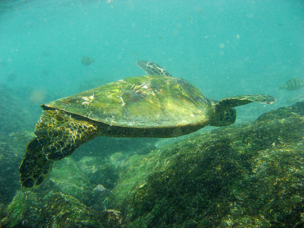 The first thing we did after eating Poke was to go snorkling. Almost immediately we found TURTLES!
