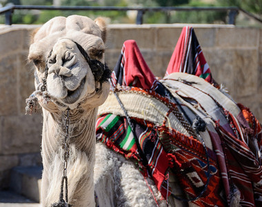 Camel on Mt. of Olives