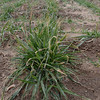 MET011513winter wheat