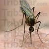 MET0512213 mosquito
