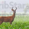 MET072213 deer