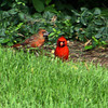 Male and female red bird, cardinal