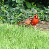 Female and male red bird cardinal
