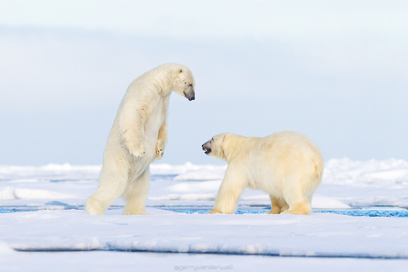 Intimidation<br /> <br /> Location: Svalbard, Arctic Circle<br /> <br /> The white world of Svalbard is a true wildenerss and home to the largest land predator in the world, the Polar Bear (Ursus maritimus).  We followed two courting Polar Bears around the pack ice for quite some time as they exhibited incredible mating behaviour which involved play fighting and mutual grooming.  During one of these play fighting sequences the one Bear stood up on it's hind legs and advanced on the other one which made for an image that looks intimidating and aggresive but is actually part of a seldomly seen courting ritual. <br /> <br /> <br /> Canon 1D4, Canon 600mm lens, /1250, f/9, ISO 640
