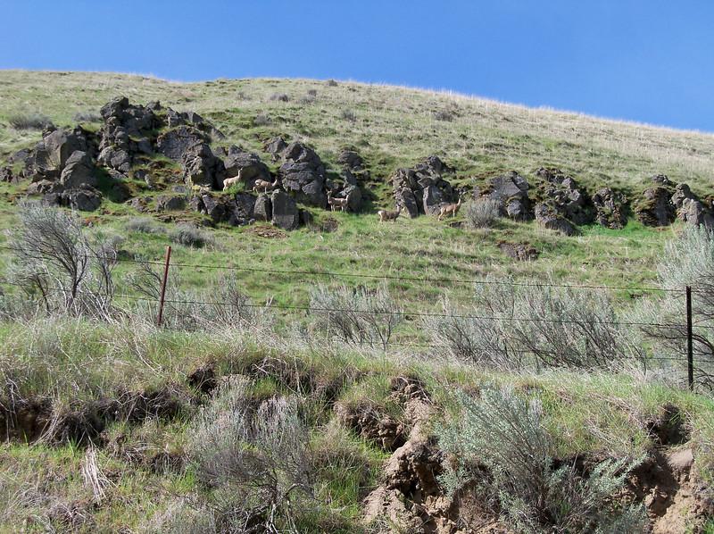 Lots of Mule Deer