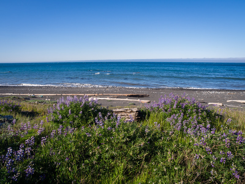 Lupines overlooking the sea