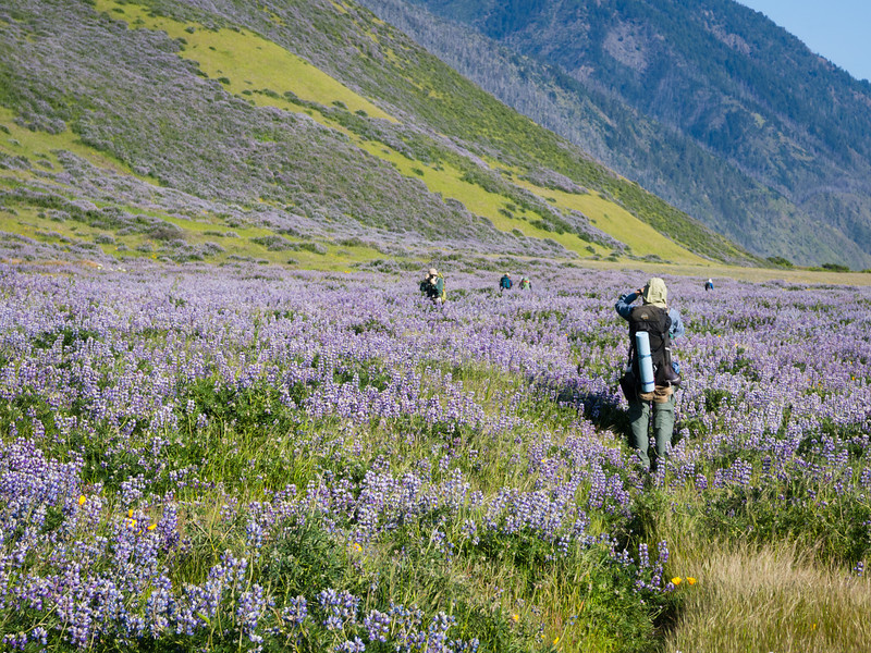 Lupine explosion