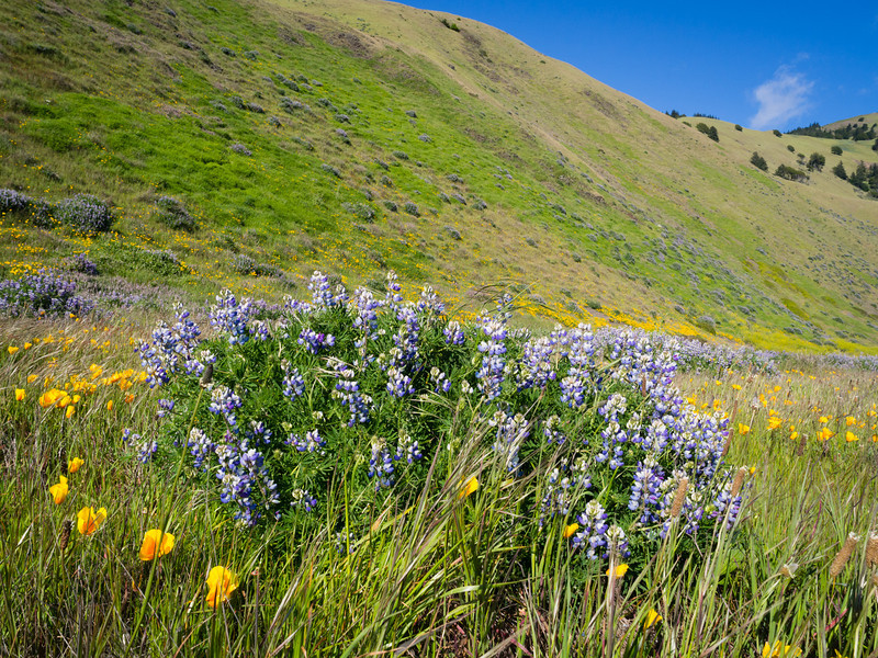 Lupine amidst poppies