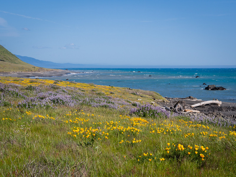 Poppies and lupines by the ocean