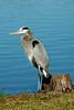 Sandhills crane