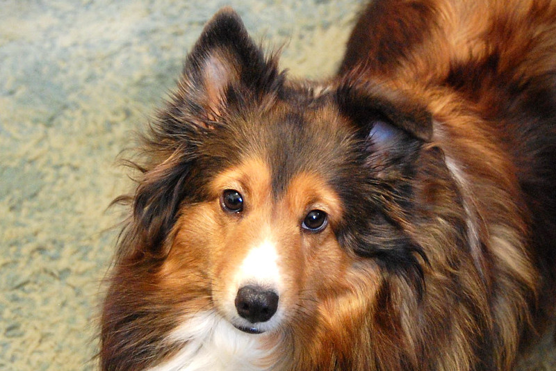 Peggy sable sheltie
