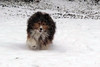 Peggy, sable sheltie, running in snow.