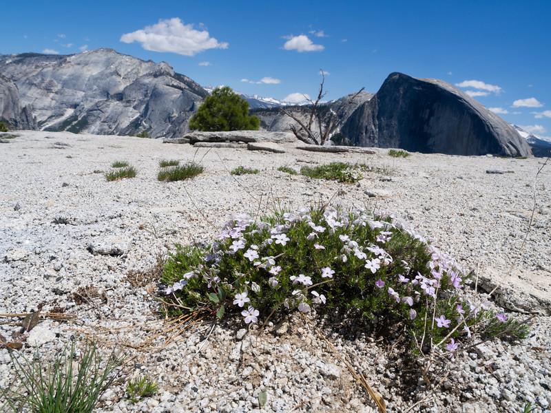 Wildflowers and granite