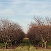 131114 3A Ent VIERA/STAFF PHOTOGRAPHER Wilson, NY- Apples trees in an orchard in Wilson on Thursday Nov 14th, 2013.