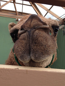 Curly the Christmas Camel at Swansons