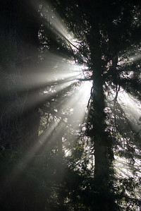 Sun coming through the fog and redwoods.