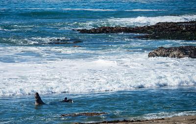 Big bull croaking in the surf.