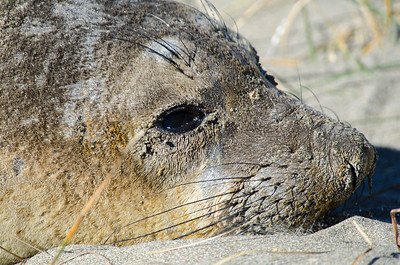 Young elephant seal.