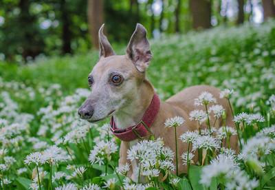 Penny visits the wild garlic