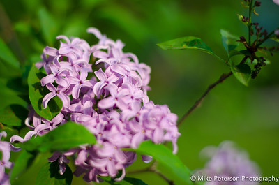 Spring lilacs - morning bloom.