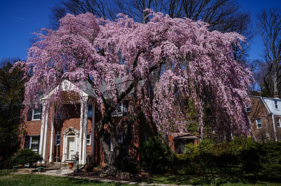 Beautiful weeping cherry tree