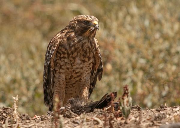 2013-06-17 Red Shoulder Hawk
