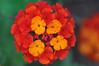 multi_flower2