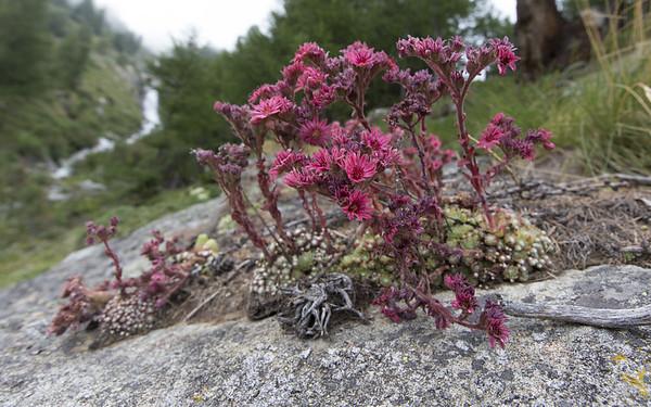 crête sèche, sempervivum montanum
