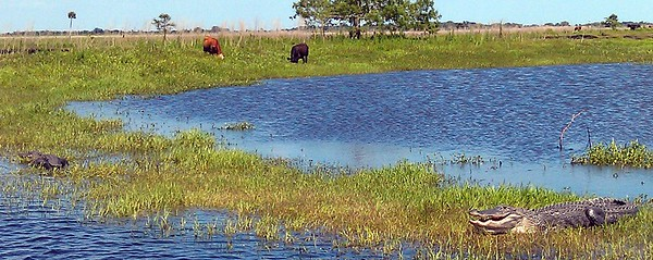 American alligators (Alligator mississippiensis) and wild cows (Bos primigenius)