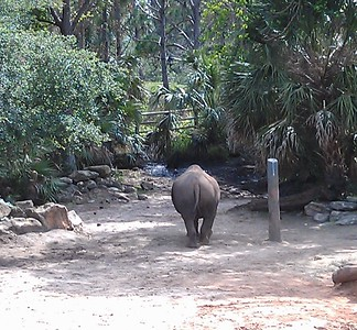 Rear view of a southern white rhinoceros (Ceratotherium simum simum) at the Brevard Zoo