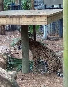 Jaguar (Panthera onca) at the Brevard Zoo