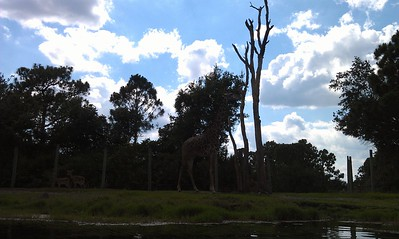 Giraffe (Giraffa camelopardalis) and impala (Aepyceros melampus), viewed from a kayak tour of the Brevard Zoo