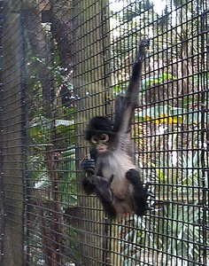 Baby spider monkey (Ateles) at the Brevard Zoo