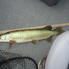 MUSKY DOUG CAUGHT ON YAHARA FISHING FOR BASS AROUND MAY 15TH.  WITH A FLOATING RAPALA